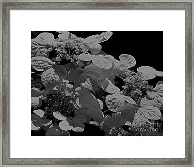 Lace Cap Hydrangea In Black And White Framed Print