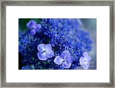Lacecap Hydrangea Macrophylla Serrata Blue Framed Print
