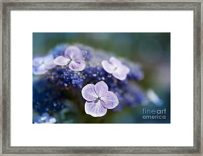 Lacecap Hydrangea Macrophylla Serrata Framed Print