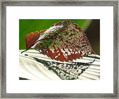 Lacy Leaf Framed Print by Kevin Callahan