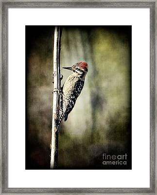 Ladder-back Woodpecker  Framed Print by Saija  Lehtonen