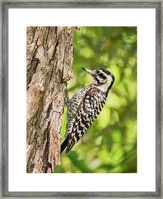 Ladder Backed Woodpecker Framed Print by Loree Johnson