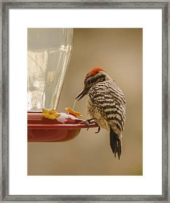 Ladderback Woodpecker 3 Framed Print by Allen Sheffield