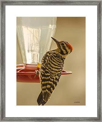 Ladderback Woodpecker Framed Print by Allen Sheffield