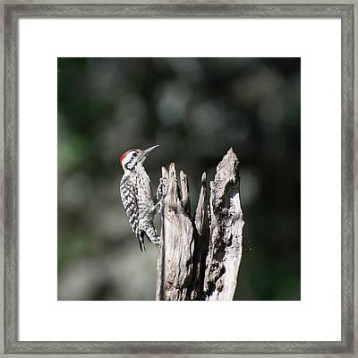 Ladderback Woodpecker Framed Print by Peggy Blackwell