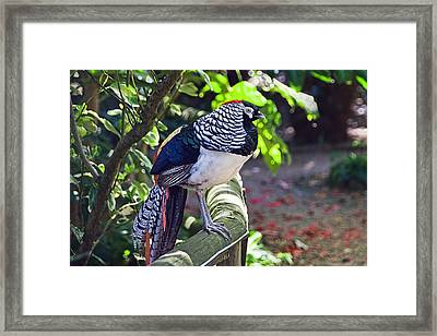 Lady Amherst's Pheasant Framed Print