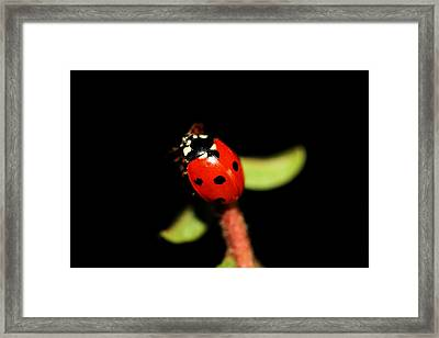 Lady Bug Climb Framed Print by Nick Gustafson