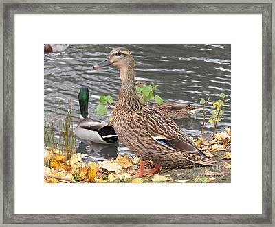 Lady Duck Framed Print