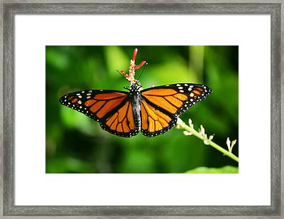 Lady Monarch Framed Print