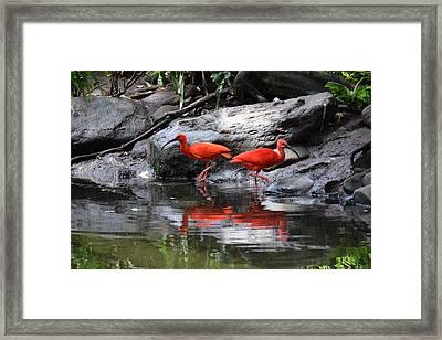 Scarlet Ibis 1 Framed Print by Bruce Miller