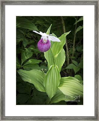 Lady Slipper Flower Framed Print by Edward Fielding