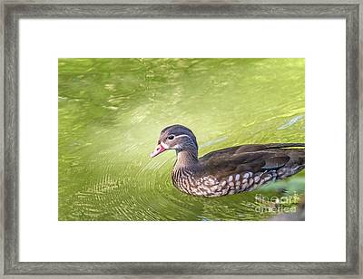 Lady Wood Duck Framed Print by Kate Brown