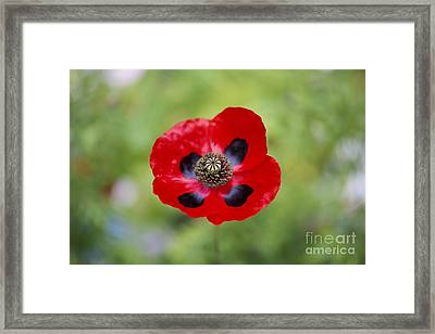 Ladybird Poppy Framed Print by Tim Gainey