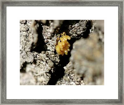 Framed Print featuring the painting Ladybug Eggs by Sharon Mick