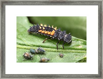Ladybug Larva And Aphids Framed Print by Matthias Lenke