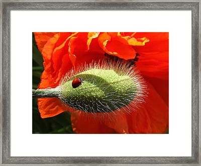 Ladybug On Poppy Framed Print by Mark Alan Perry
