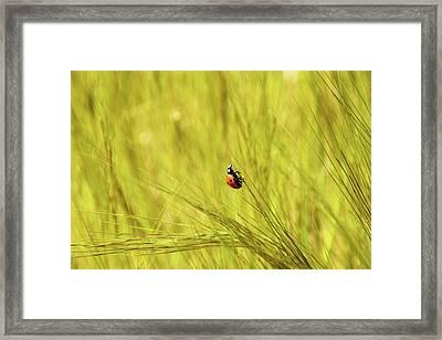 Ladybug In A Wheat Field Framed Print