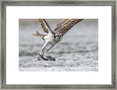 Ladyfish Framed Print by Jim Gray
