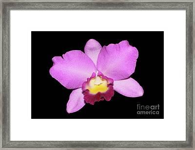 Laeliocattleya Angel Heart X Cattleya Portia Framed Print by Judy Whitton