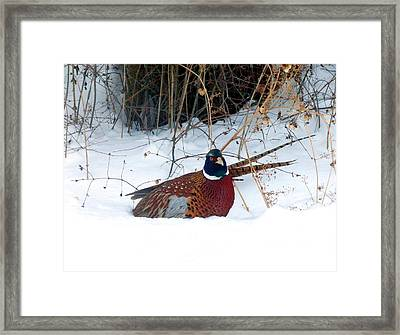 Framed Print featuring the photograph Lake Country Pheasant 2 by Will Borden