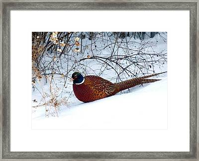 Framed Print featuring the photograph Lake Country Pheasant by Will Borden