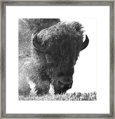Lamar Valley Bison Black And White Framed Print