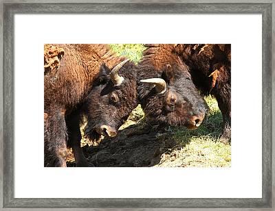 Lamar Valley Bison Fight Framed Print