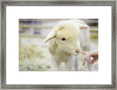 Lamb At Denver Stock Show Framed Print