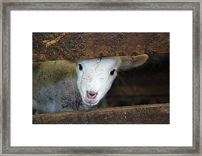 Lamb Framed Print by Christy Majors
