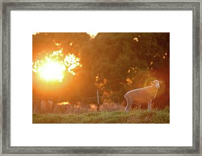 Lamb Of God Framed Print by Robert Lang Photography