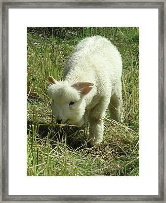 Lamb Framed Print