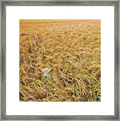 Lamb With Barley Framed Print by Meirion Matthias