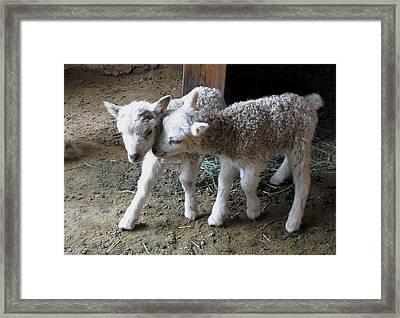 Lambs Framed Print