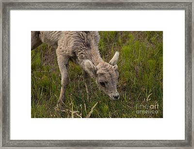 Little Lamb's Lunchtime Framed Print