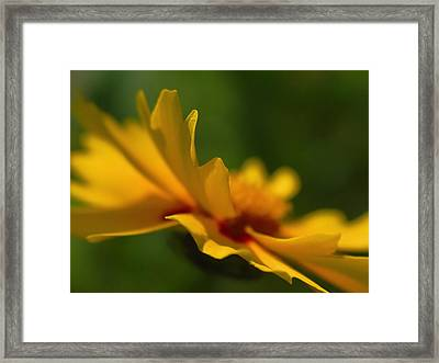 Lance Leaved Coreopsis Framed Print by Juergen Roth
