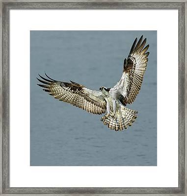 Osprey Approach Framed Print