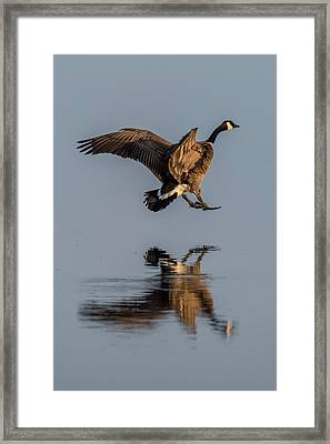 Landing Canadian Goose Framed Print by Paul Freidlund