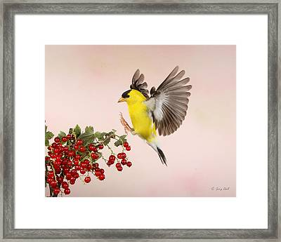 Landing For A Quick Charge At The Currant Bush Framed Print