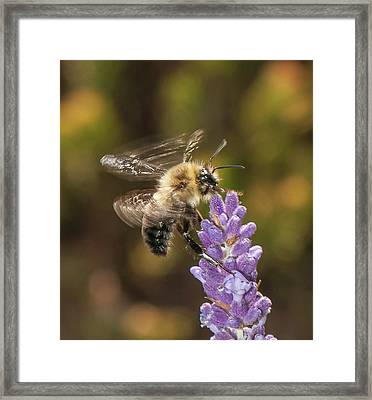 Landing On Lavender Framed Print