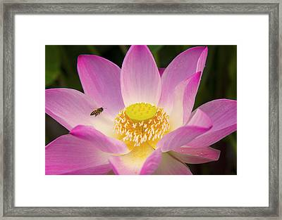 Landing On The Sweet Lotus Flower Framed Print by Narongchai Saelee