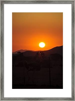 Landscapes - Ostrich Sundown Framed Print by Andy-Kim Moeller