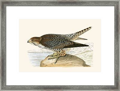 Lanner Falcon Framed Print by English School