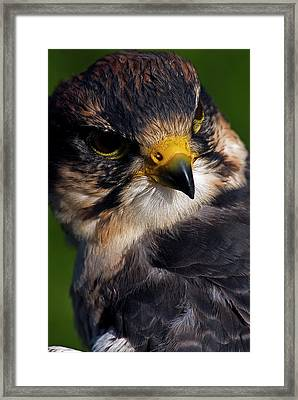 Lanner Falcon Framed Print by JT Lewis