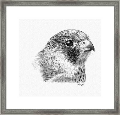 Lanner Falcon Framed Print