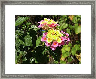 Lantana Framed Print by Richard De Wolfe