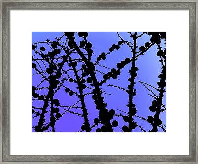 Larch Cones Against The Sky Framed Print