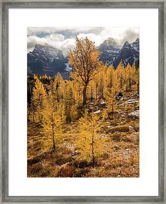Larch Family Framed Print