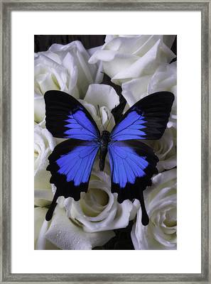 Large Blue Butterfly On White Roses Framed Print