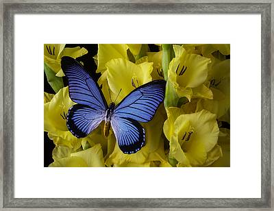 Large Blue Winged Butterfly Framed Print by Garry Gay