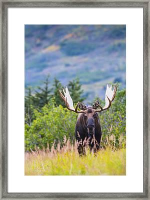 Large Bull Moose Standing In Brush Framed Print by Michael Jones